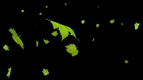 Green maple leaves falling Stock Video Footage