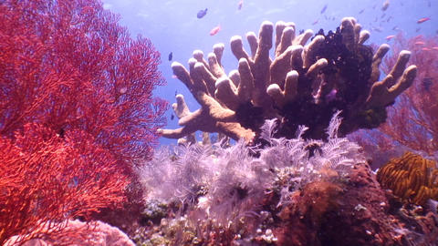 Fishes and Corals Footage