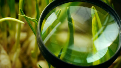 Magnifying glass to study verdant wheat seedling in sun Stock Video Footage