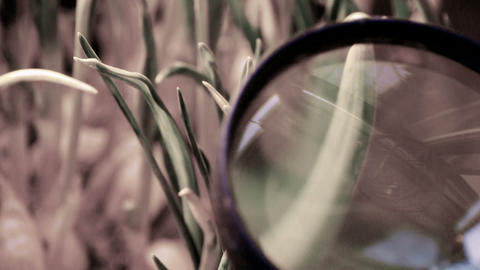 Magnifying glass to study verdant wheat seedling Stock Video Footage