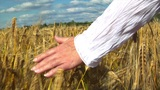 10709 womans hand brushing over wheat field Footage