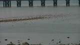 seagull habitat at beach,trestle bridge Footage