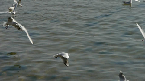 Many seagull flying in sea Stock Video Footage