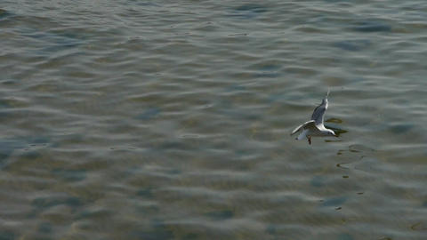 Many seagull flying in sea Footage