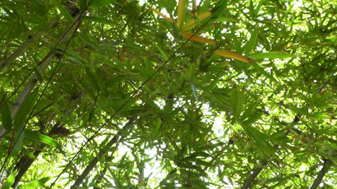Bamboo Forest 02 lowangle Stock Video Footage