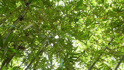 Bamboo Forest 02 lowangle Footage