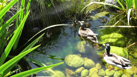 San Diego Zoo 03 ducks handheld Stock Video Footage