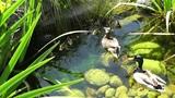 San Diego Zoo 03 ducks handheld Footage