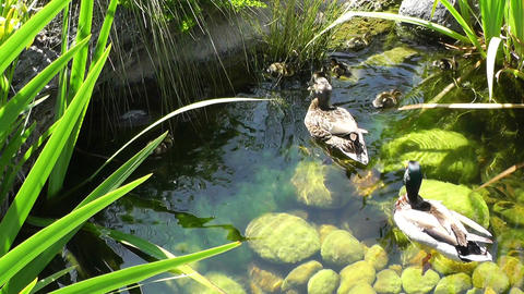 San Diego Zoo 03 ducks handheld Footage