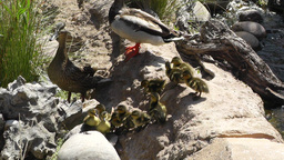 San Diego Zoo 05 ducks handheld Footage