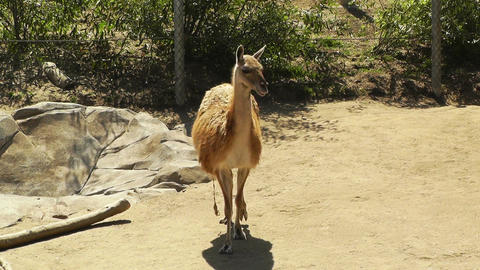 San Diego Zoo 07 guanaco handheld Stock Video Footage
