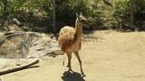 San Diego Zoo 07 guanaco handheld Footage