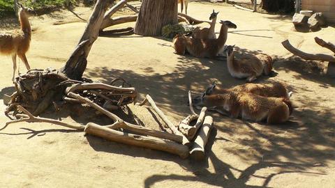 San Diego Zoo 09 guanaco handheld Stock Video Footage