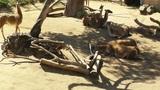 San Diego Zoo 09 guanaco handheld Footage