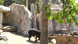 San Diego Zoo 13 elephant tapir capybara Stock Video Footage
