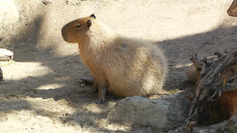 San Diego Zoo 15 capybara Stock Video Footage