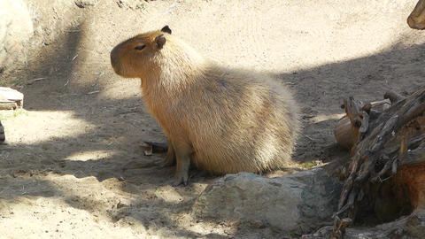 San Diego Zoo 15 capybara Stock Video Footage