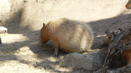 San Diego Zoo 15 capybara Footage