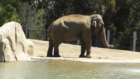 San Diego Zoo 17 elephant Stock Video Footage