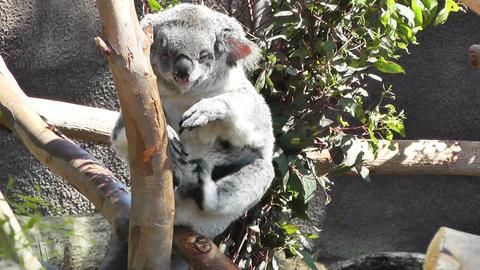 San Diego Zoo 19 koala handheld Stock Video Footage