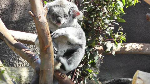 San Diego Zoo 19 koala handheld Footage