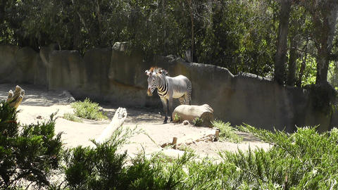 San Diego Zoo 24 zebra Stock Video Footage