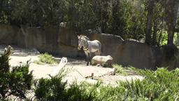 San Diego Zoo 24 zebra Footage