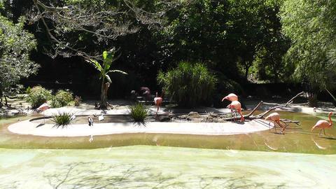 San Diego Zoo 26 flamingo Stock Video Footage