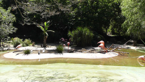 San Diego Zoo 26 flamingo Stock Video Footage