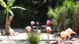 San Diego Zoo 28 flamingo Footage