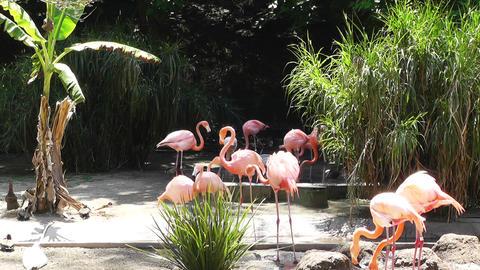 San Diego Zoo 28 flamingo Stock Video Footage