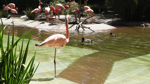 San Diego Zoo 30 flamingo Stock Video Footage