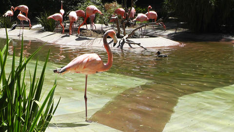 San Diego Zoo 30 flamingo Footage