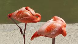 San Diego Zoo 32 flamingo Stock Video Footage