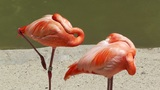 San Diego Zoo 32 flamingo Footage