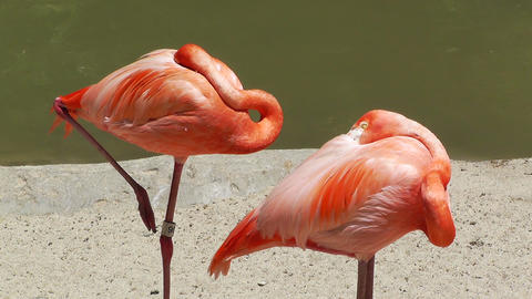 San Diego Zoo 32 flamingo Stock Video Footage