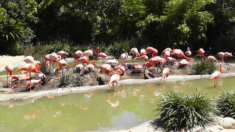 San Diego Zoo 34 flamingo Stock Video Footage