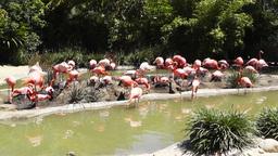 San Diego Zoo 34 flamingo Footage