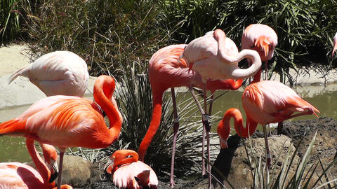 San Diego Zoo 36 flamingo Stock Video Footage