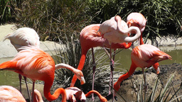 San Diego Zoo 36 flamingo Footage