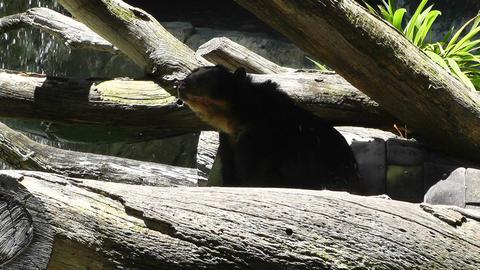 San Diego Zoo 38 sloth bear Stock Video Footage