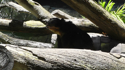 San Diego Zoo 38 sloth bear Stock Video Footage