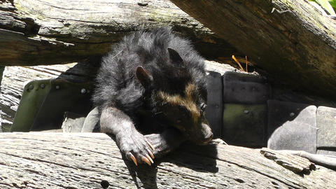San Diego Zoo 40 sloth bear Stock Video Footage