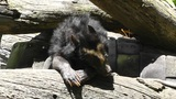 San Diego Zoo 40 sloth bear Footage