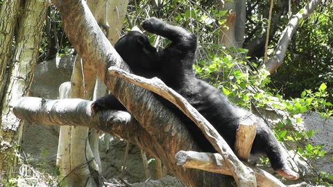 San Diego Zoo 44 sloth bear Stock Video Footage