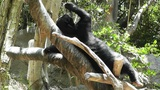 San Diego Zoo 44 sloth bear Footage
