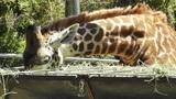 San Diego Zoo 48 giraffe Footage