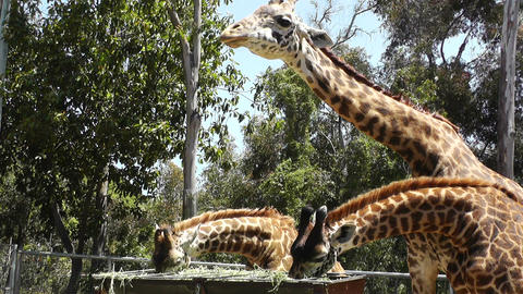 San Diego Zoo 50 giraffe Stock Video Footage