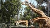 San Diego Zoo 50 giraffe Footage