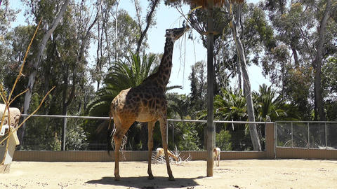 San Diego Zoo 52 giraffe Stock Video Footage
